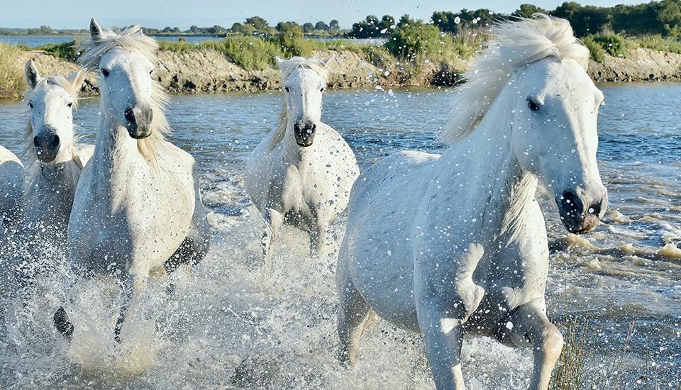 chevaux camargais